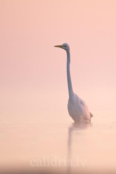 Great Egret in misty sea