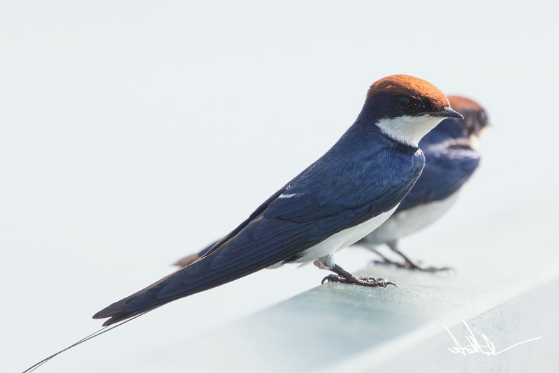 White-tailed Swallow-1.jpg