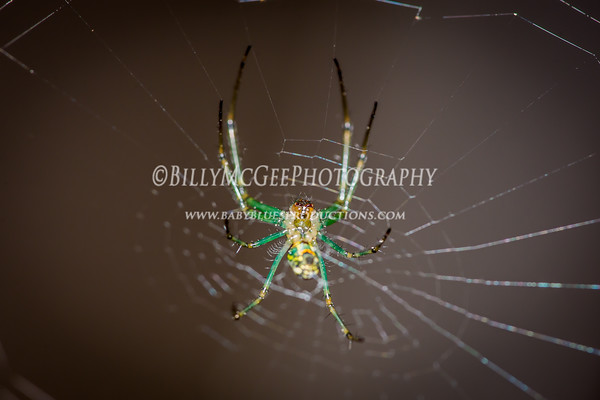Orb Web Spiders - 27 Jun 2015