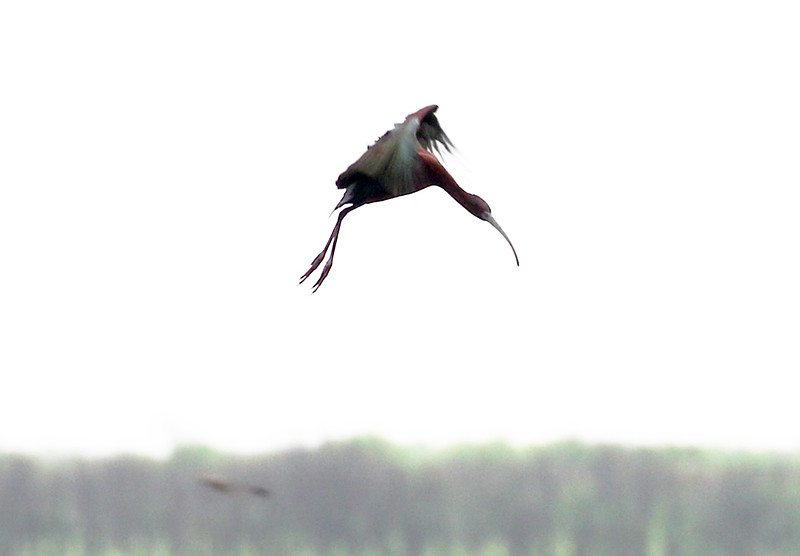 A White-faced Ibis in flight