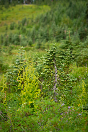 Wildflower Hike on Rainier, August 2018