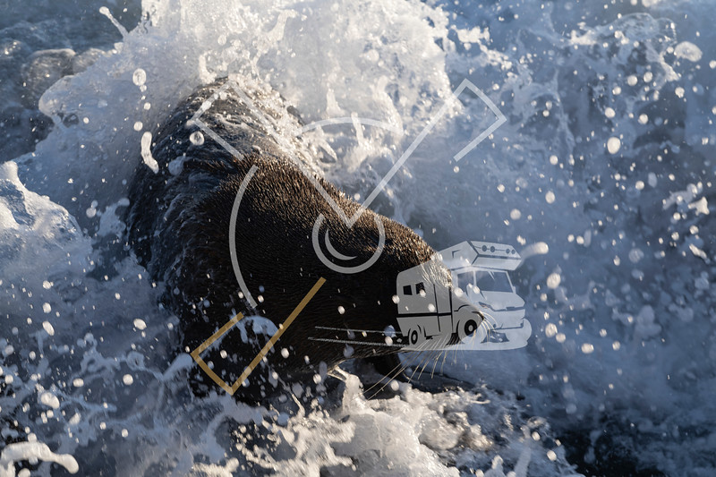 New Zealand fur seal splashed with sea water during a sunny sunrise at Shag Point, New Zealand.
