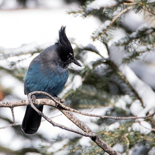 tell blue bird.jpg