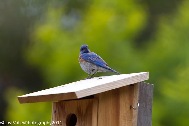 Bluebirs Nesting-1073.jpg