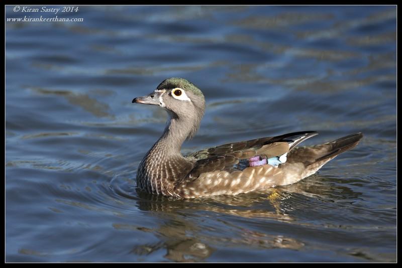 Wood Duck female, Santee Lakes, San Diego County, California, February 2014