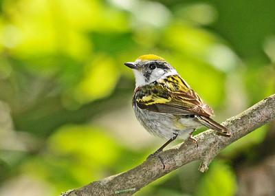 Warbler - Chestnut-sided