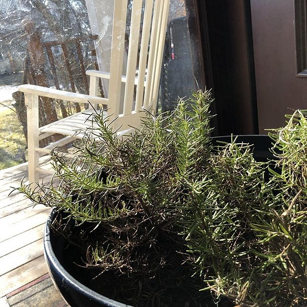 Spring is almost here and our rosemary plant is enjoying her day in the sun at the front door.