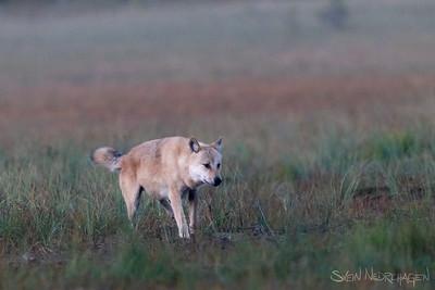 Ulv (Wolf)