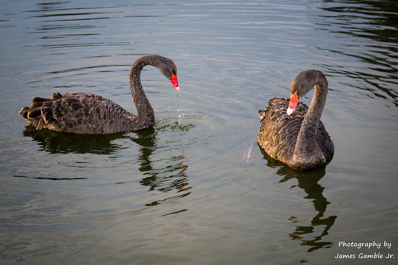 Black-Swans-3.jpg