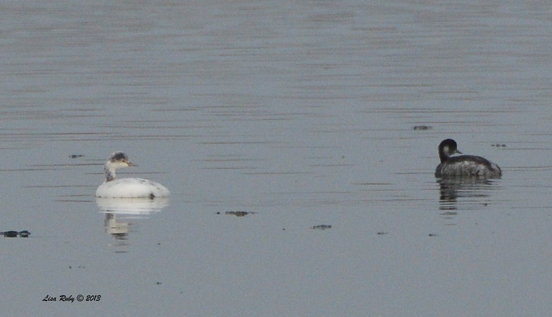 Leucistic and normal Eared Grebes - Salt Works - 10/27/13