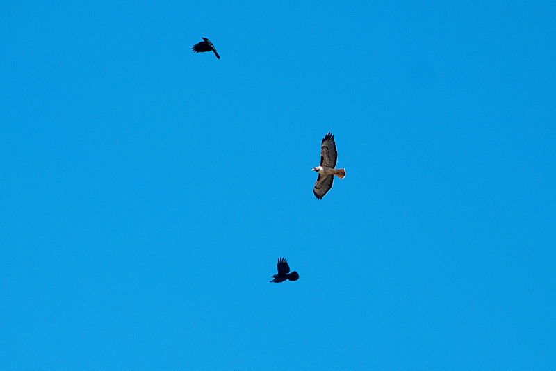 hawk chased by crows.jpg