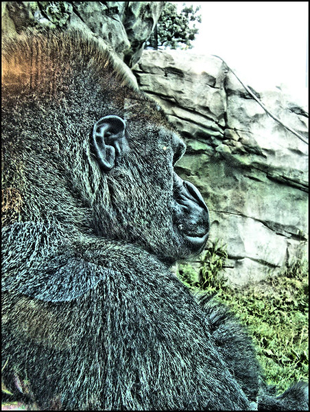 gorillaSM.jpg