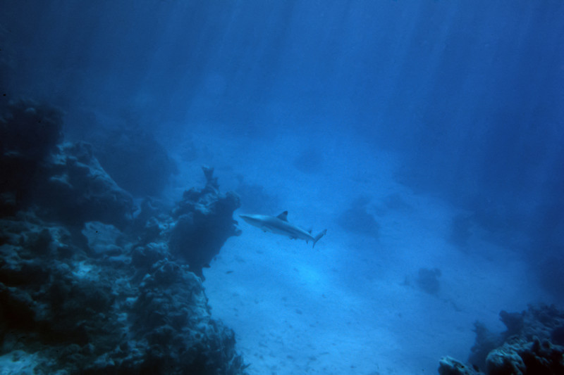 Black tip shark.