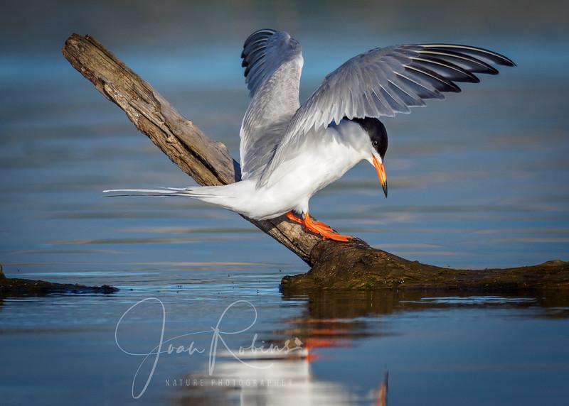 Forster's Terns, Black Butte Lake, CA