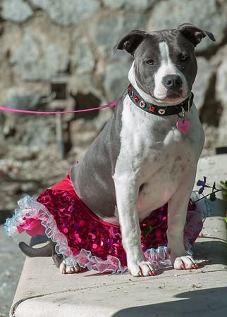 San Benito Bullies Dog Walk 2015