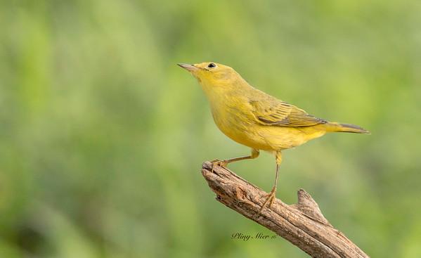 Yellow Warbler 2.jpg