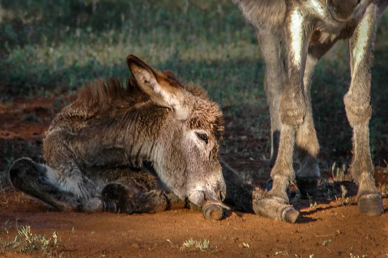 Wild Burro Foal Laying on Ground