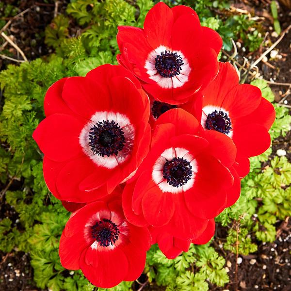 Poppies_IMG_0533.jpg