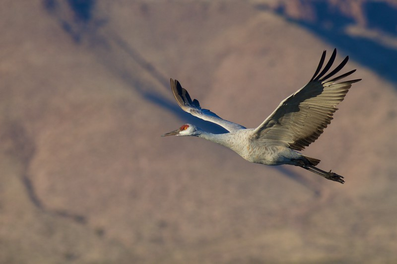 Sandhill Crane Bosque del Apache NWR Socorro NM IMG_1687.dng.jpg