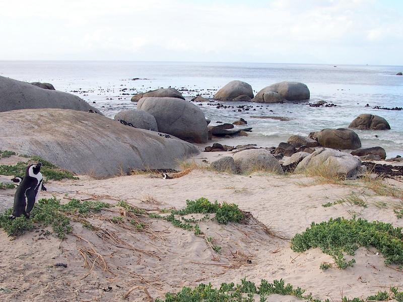 P5197296-african-penguin.JPG