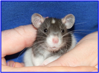 Baby Rat Growth: Pictures of the Pinkies - Rattie World O' Comfort