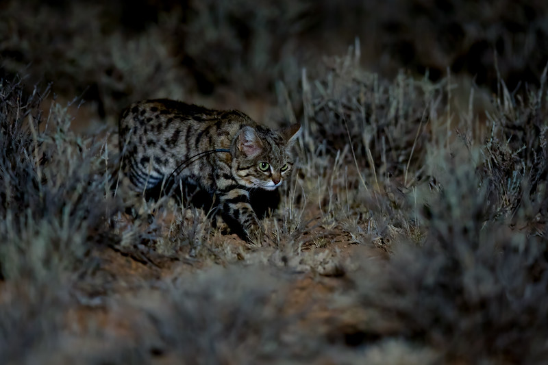 Black-footed cat (Felis nigripes), Karoo, South Africa