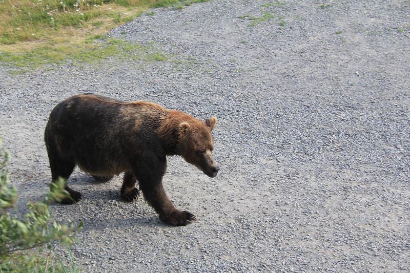 20160714-038 - Katmai NP-Brooks Camp-Different Bear from Bridge Overlook.JPG