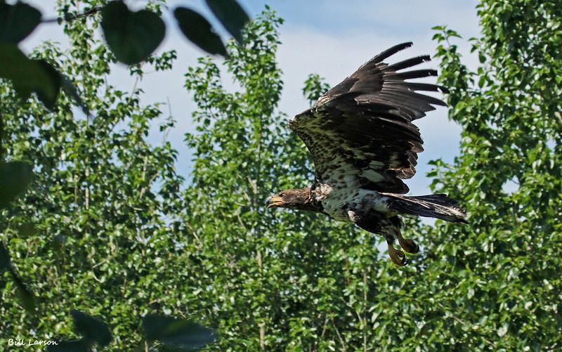 Dave's B-day eagle 024.jpg