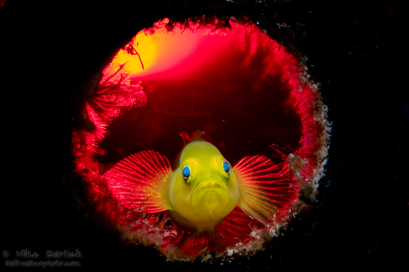 Lemon goby red bottle (1 of 1).jpg
