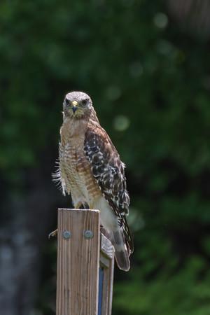 Kites, Hawks, Eagles & Allies