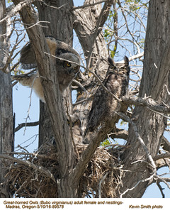 Great Horned Owls F&N89578 .jpg