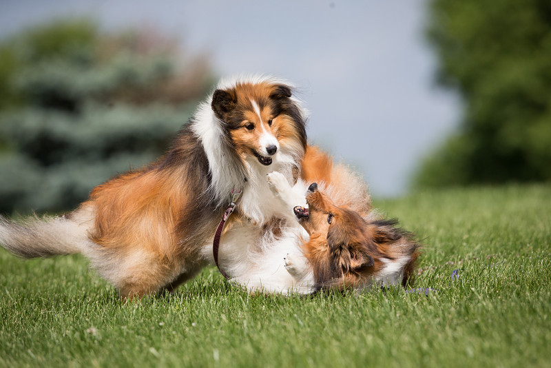 14_0617_Hawkshelties_ww-5762.jpg