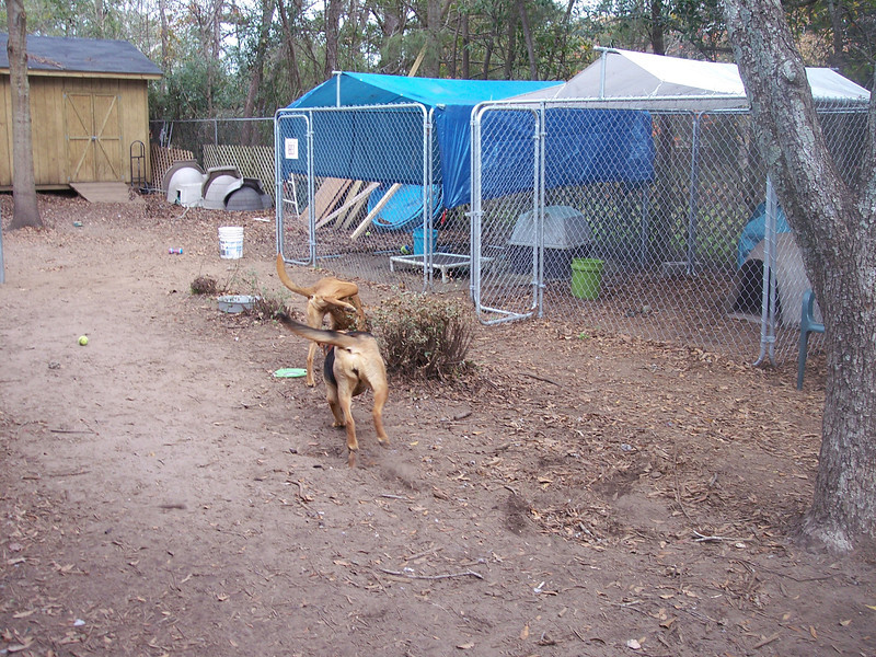 Duke and Bailey playing in the back kennel yard at 1430