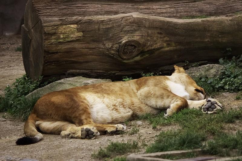 Lev spící