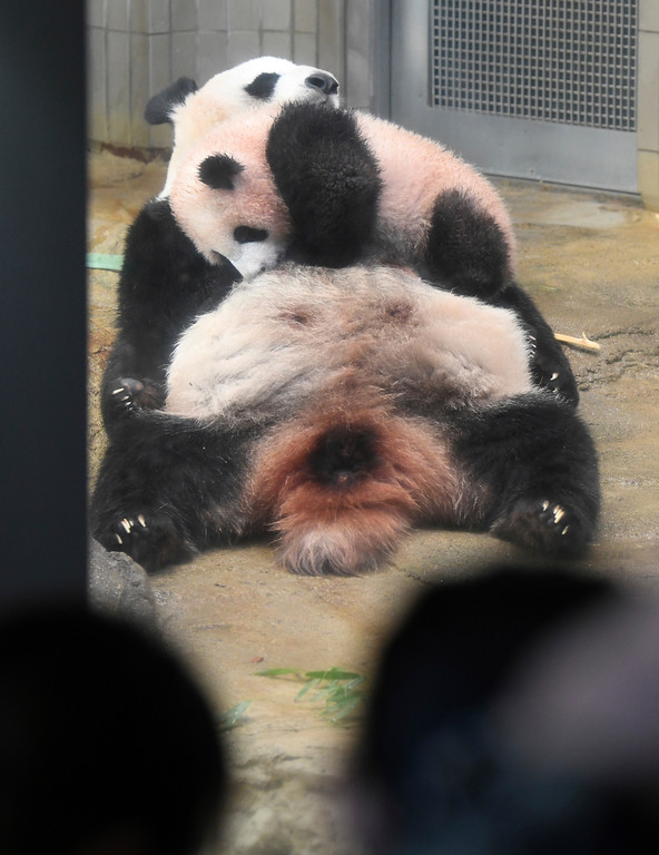 . People look at female giant panda cub Xiang Xiang playing on her mother Shin Shin at Ueno Zoo in Tokyo Tuesday, Dec. 19, 2017.  Xiang Xiang, or Fragrance in Chinese, a 6-month-old female giant panda, made a debut Tuesday in a limited public viewing for avid fans who obtained tickets through a highly competitive lottery process. (Toru Yamanaka/Pool Photo via AP)