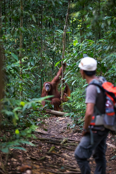 A guide comes face to face with a mother and baby Sumatran orangutan on the trail
