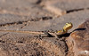 Namibian Rock Agama