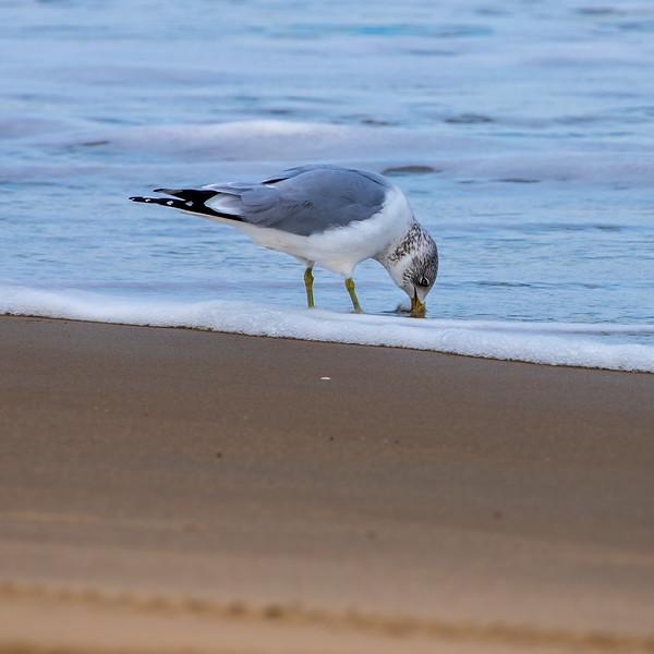 SeagullSandbridgeBeach-002