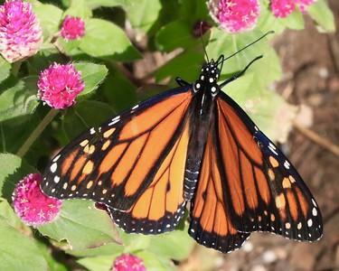 Butterflies at DBG October 2018