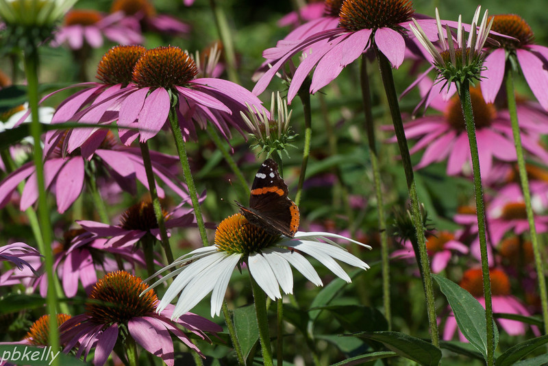 July 13. CBG  Red Admiral in a riot of Coneflowers.