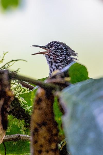 19-Sept Costa Rica Birds-0989.JPG