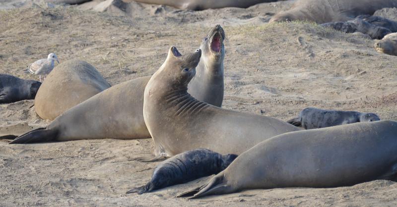 ano-nuevo-elephant-seals-2013 12.jpg