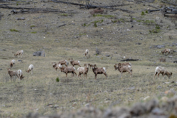 5-10-17 Big Horn Sheep