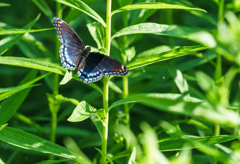 Red-spotted Purple butterfly (limenitis arthemis) at Baker Woods Preserve