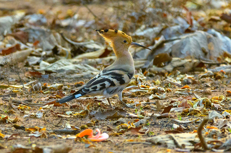 Common Hoopoe foraging in the forst of Tadoba Tiger Reserve