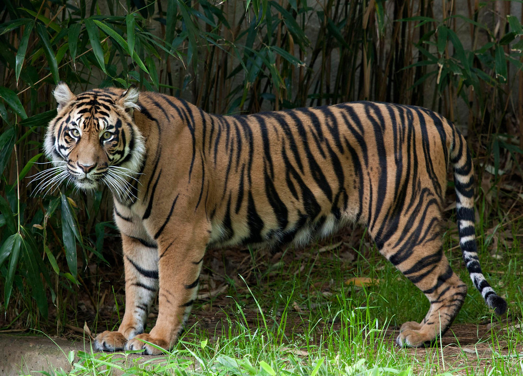 """. This handout photo provided the Smithsonian\'s National Zoo, taken May 23, 2011, shows Sumatran tiger Damai at the zoo in Washington. The Smithsonian\'s National Zoo wants to highlight the dwindling number of 400 Sumatran tigers left in the wild by launching an \""""endangered song\"""" on Earth Day. On Tuesday, the zoo is releasing \""""Sumatran Tiger,\"""" a song from the indie rock band Portugal. The Man. The song was recorded on 400 polycarbonate records that were designed to degrade after a certain number of plays. The only way to save the song is to digitize and \""""breed\"""" the music by sharing it through social media. It\'s is being released to 400 participants to share. (AP Photo/Mehgan Murphy, Smithsonian\'s National Zoo)"""