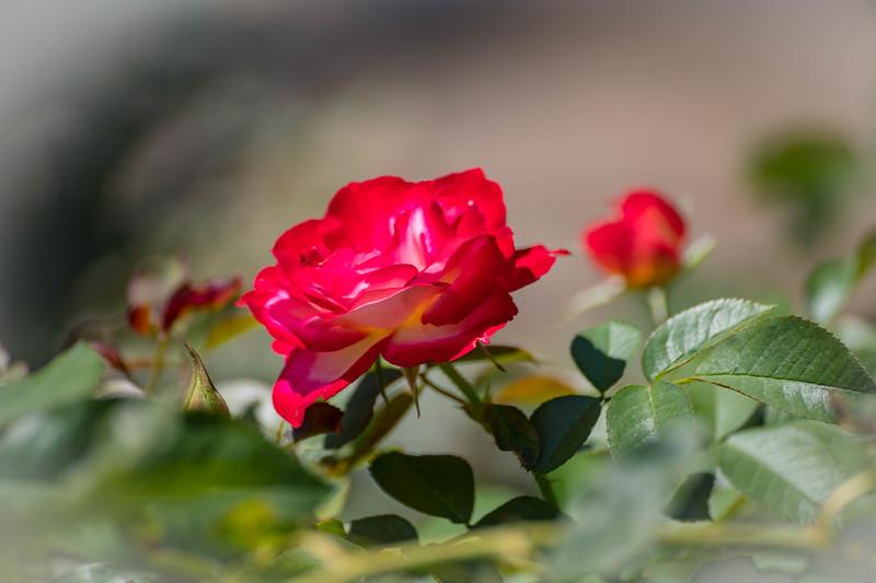 Rose Garden 8.2018-1088.jpg