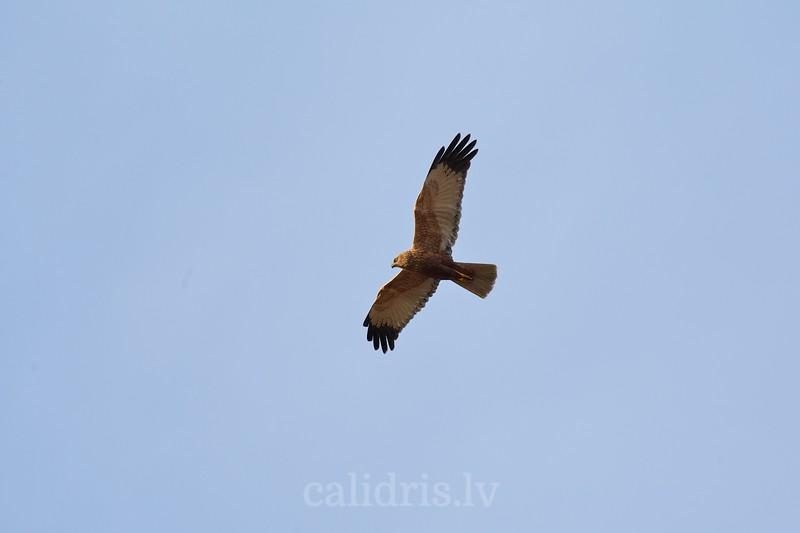 Niedru lija lidojuma? / Marsh Harrier / Circus aeruginosus