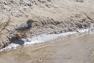 Wagtails and Pipits