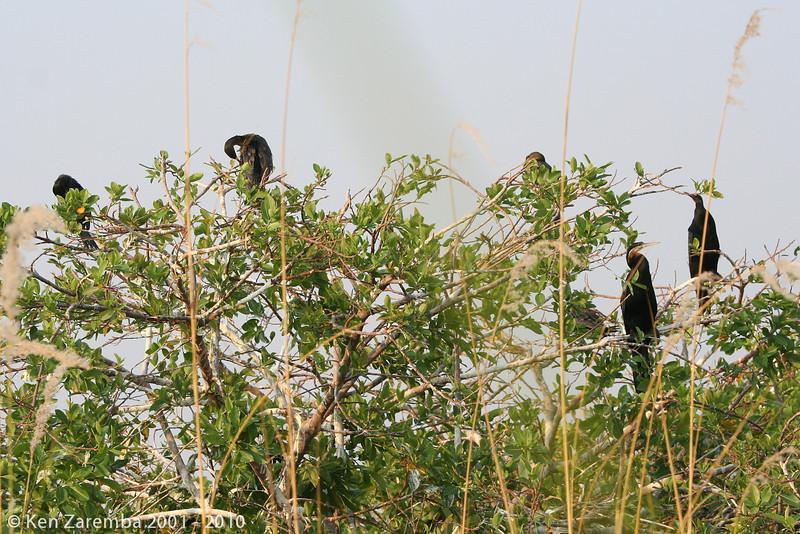 african darters or snake bird (aka: anhinga)